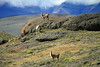 Guanacos feeding among the conglomerate rock - with the slopes of Mt. Almirante Nieto amongst the clouds.
