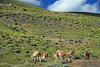 Grazing Guanacos - early summer season in the Ultima Esperanza province - Magallanes region.