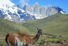 Grass stems in the mouth of a Guanaco - with the Torres del Paine against the horizon.
