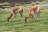 Vicuña or Vicugna - they are the smallest of the camelids (6 species on Earth), growing to about 6 ft. (1.8 m) in body length - shoulder height of around 3 ft. (0.9 m) - tail length of near 9 in. (23 cm) - and weighing up to around 140 lb. (64 kg) - an extremely slender species, with long skinny limbs and neck - the overall color of the soft wooly coat is ochre, light cinnamon, or reddish brown, with the underparts, insides of the legs, and underside of the head being dirty white - on the chest, at the base of the neck, is a distinct mane, a patch of silky white long hairs - the hair of the Vicuna is the finest diameter (softest) animal hair used in the clothing industry (smaller than the Mohair-Angora Goat, Cashmere Goat, Merino Sheep, Alpaca, and Camel Hair) - these specimens grazing along the edge of the Rio Putana - northeastern Antofagasta region.