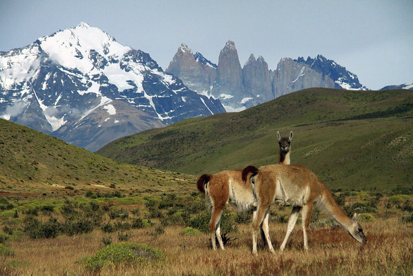 Guanacos - early summer season at Torres del Paine National Park - Ultima Esperanza province, Magallanes region.