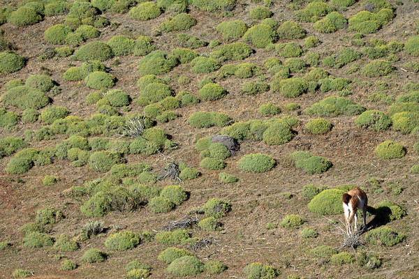 Guanaco - feeding in the early morning light, amongst the cushion plants.