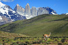 Guanaco on the move amongst the Patagonia Steep ecoregion - with Mt. Almirante Nieto (l), beyond to the intrusive igneous granite of the Torres del Paine, and adjacent hornfels rock capped Cerro Nido Condor.