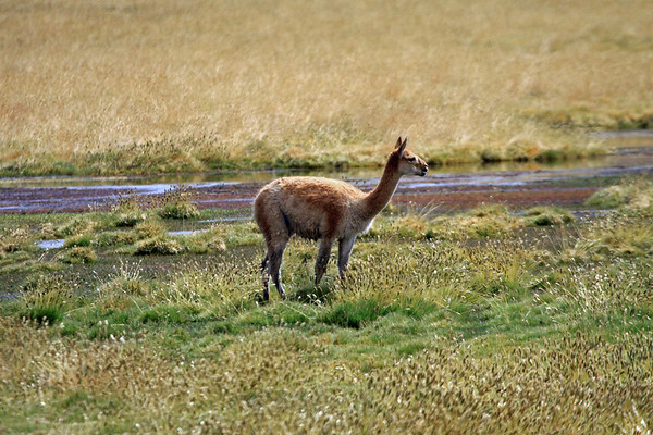 Vicuña or Vicugna - amongst the abundant grasses and seed-heads, along the Rio Putana - here at about 14,240 ft (4,340 m) above sea level - during the mid-summer season - northeastern Antofagasta region.