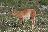 Guanaco chewing a a mouthful of vegetation.
