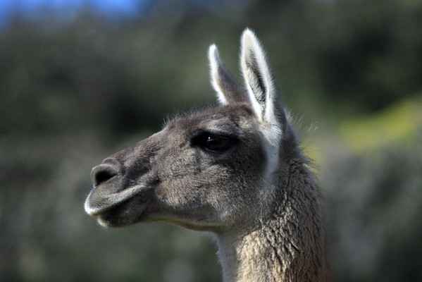Sunlight into the eye of an alerted Guanaco.