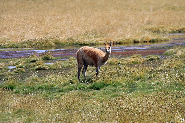 Vicuña or Vicugna - amongst the grasses and seed-heads, along the Rio Putana - northeastern Antofagasta region.