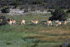 Guanacos grazing among the riparian vegetation of the Rio Paine.