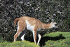Young Guanaco calf on the move.