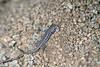 (Liolaemus nigromaculatus) - an iguanian lizard endemic to South America.