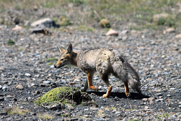 South American Grey Fox (Pseudalopex griseus) - coat is brindled gray, the underparts paler grays - the head is a rust color flecked with white and a black spot on the chin. They have large ears and a long and bushy tail.