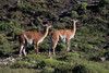 Guanacos on the move.