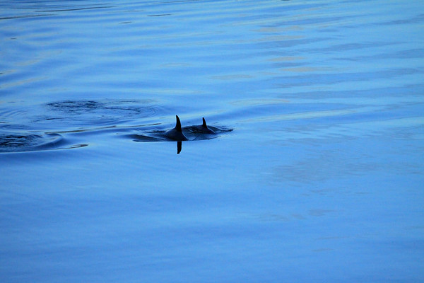Toninas (dolphins) - in the early morning shaded light of the northern Seno Ventisquero (a fjord separating Magdalena Island from the mainland) - Cisnes province, Aisen region.