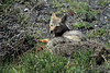 Patagonia Fox - their geographic range is wide spread throughout the  Patagonia and western Argentina.