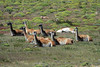Guanacos resting among the grass, cushion plants, and shrub of the Patagonia Steepe ecoregion - Magallanes region.