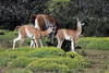 Couple of young Guanaco calves - known as Chulengos.