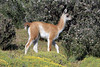 Young Guanaco calf - known as a Chulengo.