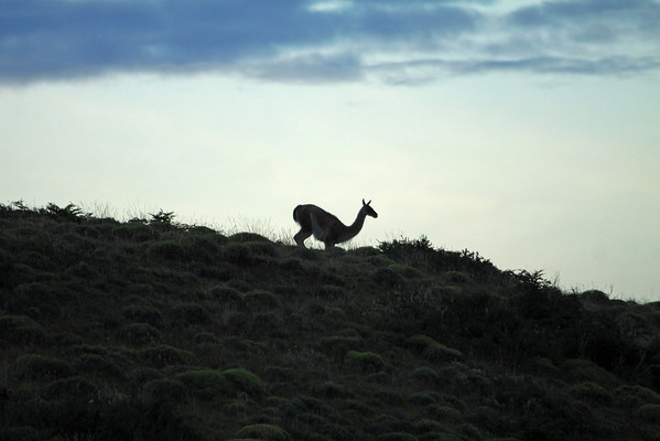 Guanaco silhouette, setting down for a rest at dusk.