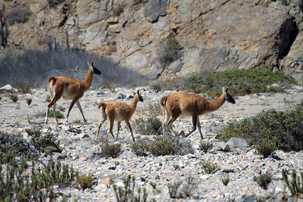 Guanacos on the move atop the rocky terrain of Antofagasta region - northern Chile.