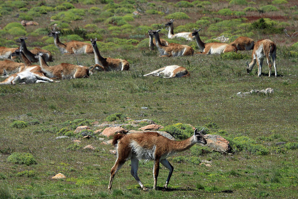 Guanacos - on the move, grazing, and resting.