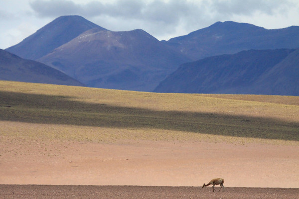 Vicuña or Vicugna - amongst the sunlight and shadows along the slopes and ridges - with (r) the edge of Volcán Putana in the northeastern Antofagasta region - and beyond into Bolivia.