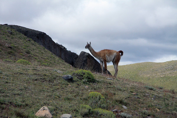 Guanaco -  cloud shade along the rocky and vegetated slopes in the Torres del Paine NP.
