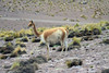 Vicuña amongst the tussock grass and rocky slope in the El Tatio Geyser Field - northern Antofagasta region.