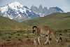 From the foraging Guanacos - to Mt. Almirante Nieto, Torres del Paine, and Cerro Nido Condor.