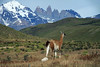 Guanacos amongst the Patagonia Steep ecoregion vegetation and Mt. Almirante Nieto, Torres del Paine, and Cerro Nido Condor in the distance.