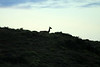 Guanaco silhouette, resting at dusk.