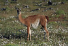 Guanaco glare and mouthful of vegetation.
