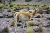 Glare of a Vicuña - amongst the tussock grass and rocky slope in the El Tatio Geyser Field - northern Antofagasta region.
