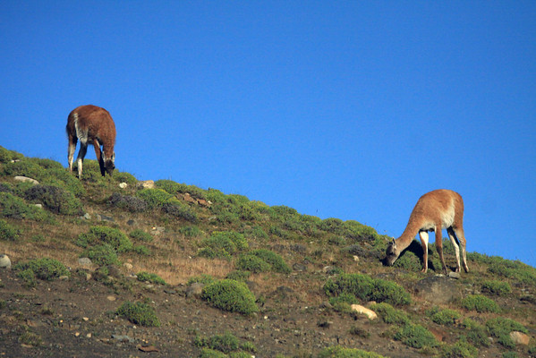 Guanacos grazing along the rocky and vegetated slopes - Torres del Paine National Park.