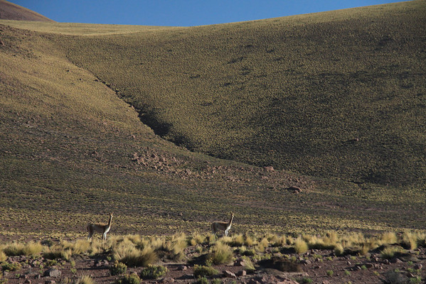 Vicuña - mid-morning amongst the tussock grass, shrubs, and rock slope along the lower slope from Morros Cablor - northern Antofagasta region.