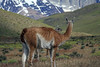 Guanacos amongst the Patagonia Steepe ecoregion of the Ultima Esperanza province in the Magallanes region.
