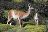 Female Guanaco with its young calf, or Chulengo.