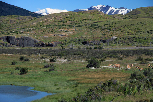 Guanacos grazing among the early summer vegetation along the Rio Paine.