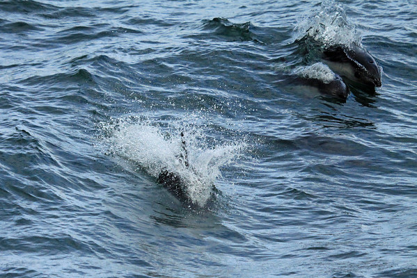 3 Commerson's Dolphin - breaking water upon the Strait of Magellan - Chile