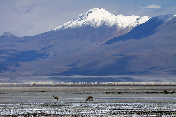 Vicuna upon an endorheic lagoon at the Salar Ascotan - in the Alto Loa National Reserve - Antofagasta region (northern) - with distal the snow-capped peak of Cerro Canapa in Bolivia.
