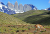 Guanaco (Lama guanicoe) - grazing upon the inflorescence of a Mata Barrosa (Mulinum spinosum) cushion plant - with the northern slope of Mt. Almirante Nieto (l), beyond to the intrusive igneous granite of the Torres del Paine, and adjacent hornfels rock capped Cerro Nido Condor.