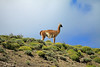 Guanaco glare along the ridge.