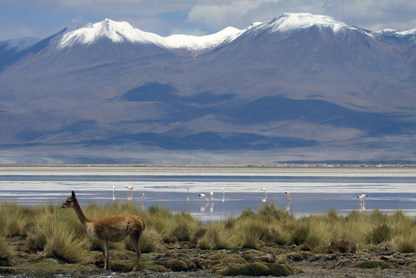 Vicuna amongst the tussock grass along the shoreline of an endorheic lagoon at the Salar Ascotan, with the flamingos feeding thereupon - with distal the snow-capped peaks in Bolivia.