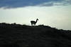 Guanaco silhouette along the ridge, with a slight green hue of the cushioin plants along the slope, at dusk.