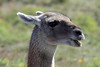 Guanaco - with a green tint upon its hair from the vegetation.