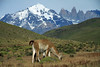 Guanacos - Torres del Paine National Park - early summer season.