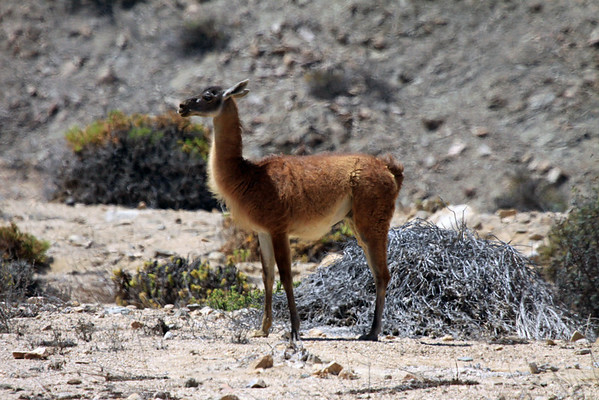 Guanaco  (Lama guanicoe) is a camelid - 1 of 4 species (along with the wild Vicuna, and domesticated Llama and Alpaca), found in South America.