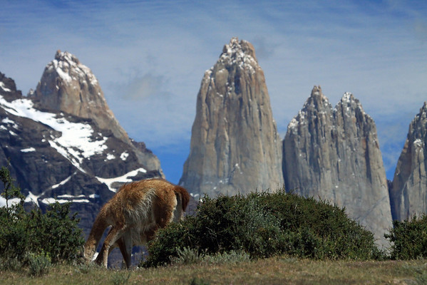 Grazing Guanacos - with the slope of  Mt. Almirante Nieto and the 3 peaks of Torres del Paine.