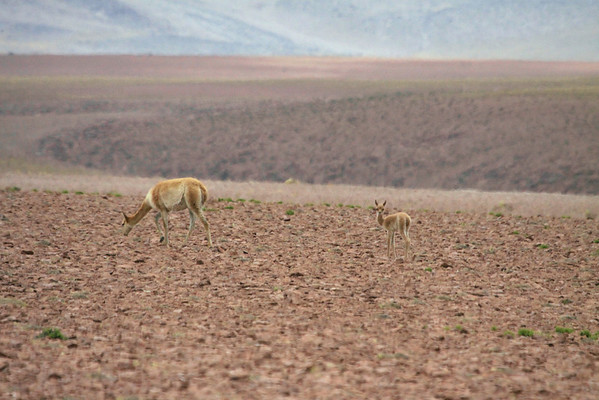 Vicuña or Vicugna - a young fawn or cria with its mother - the gestation period is about 11 months - then the calf is on its feet in about 15 minutes after birth - but remains with it mother from 5-9 months - northeastern Antofagasta region