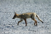 South American Grey Fox (Pseudalopex griseus) - also known as the Patagonia Fox, Gray Zorro, and locally as Chilla.