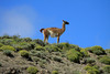Guanaco among the vegetation (cushion plants, shrubs, grasses) of the Patagonia Steepe ecoregion.